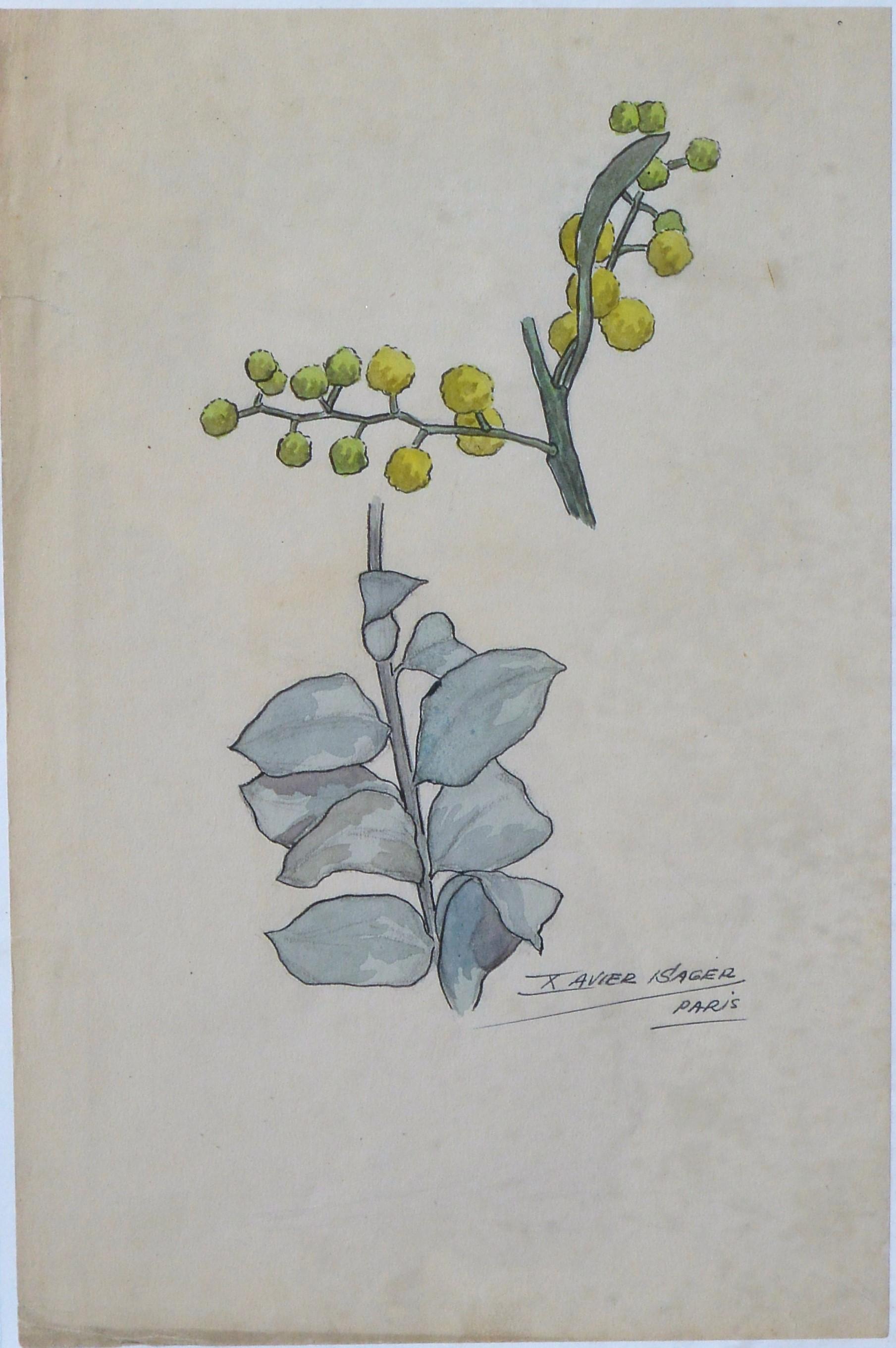 Xavier Sager  Estudio de plantas dibujo lpiz y acuarela papel