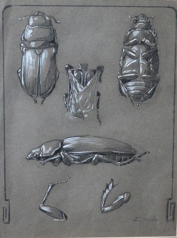 """Eulogio Varela – """"Estudios de insectos"""" dibujo carboncillo y clarión ..."""